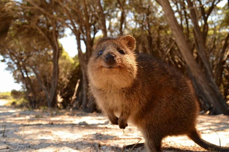 Australia Quokka